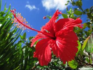 ดอกชบา9